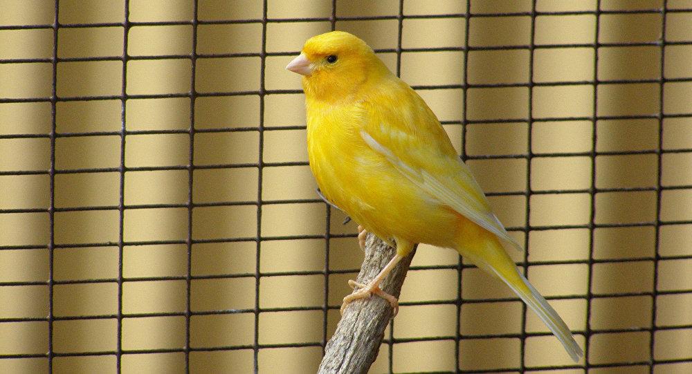 Singing like a canary