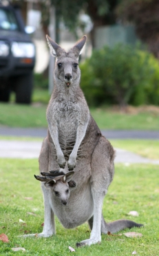 Kangaroo with a Joey in its pouch